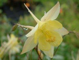 aquilegia-chrysantha-yellow-queen-kulta-akileija