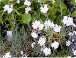dianthus-ellen-elleninneilikka