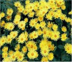 doronicum-orientale-kevatvuohenjuuri