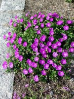 geranium-sanguineum-verikurjenpolvi