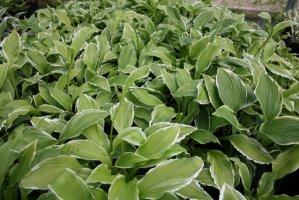 hosta-undulata-albomarginata-isoraitakuunlilja
