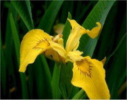 iris-psuedacorus-keltakurjenmiekka