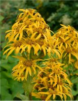 ligularia-new-star-terttunauhus
