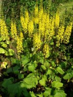 ligularia-the-rocket-aurinkonauhus