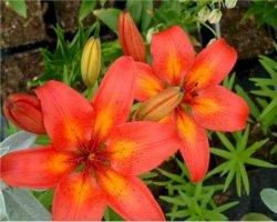 lilium-hollandicum-ryhma-tarhasarjalilja