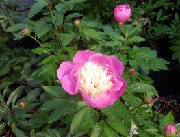 paeonia-lactiflora-kiinanpioni-2