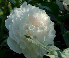 paeonia-lactiflora-kiinanpioni