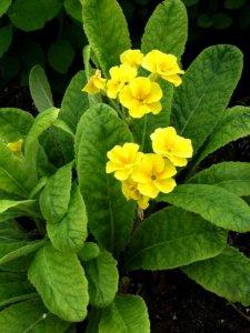 primula-polyantha-ryhma-loistokevatesikko