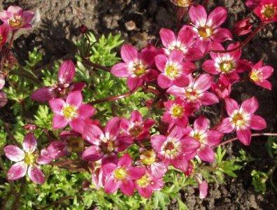 saxifraga-arendsii-ryhma-purpurteppich-patjarikko