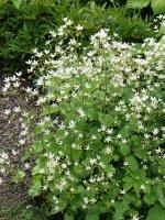 saxifraga-rotundifolia-lehtorikko