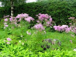 thalictrum-aquilegiifolium-lehtoangelma