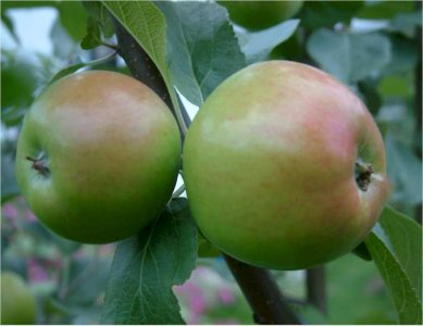 malus-tarhaomenpuu-omenapuu