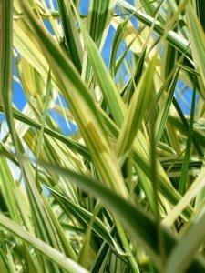 phalaris-arundinacea-picta-viiruhelpi