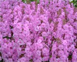 phlox-maculata-alpha-taplaleimu