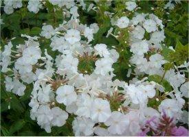 phlox-maculata-snowdown-taplaleimu