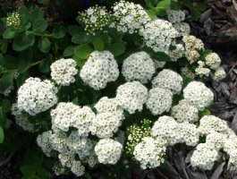 spiraea-betulifolia-koivuangervo