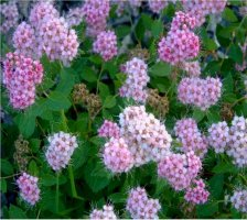 spiraea-japonica-little-princess-keijuangervo