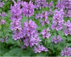 stachys-grandiflora-jalopahkamo